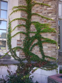 Buerger English Ivy